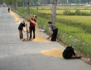 Women drying corn