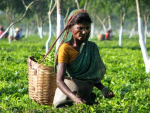 Assam thé